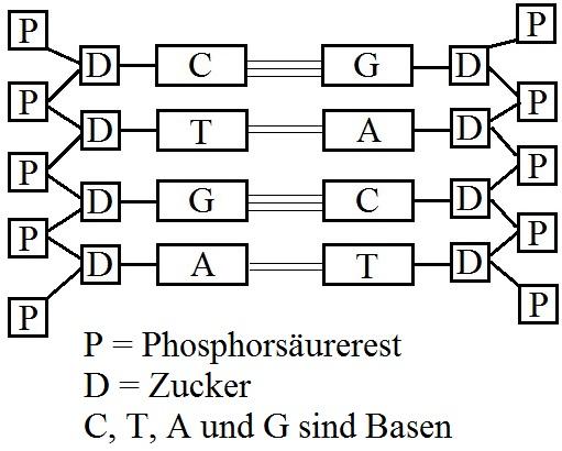DNA / DNS Aufbau und Struktur