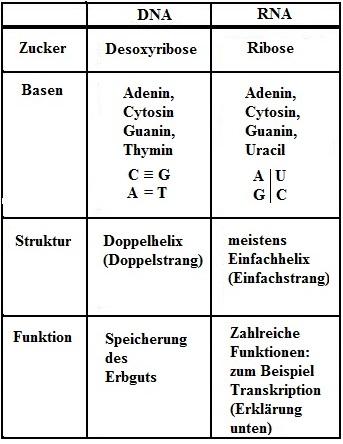 Nett DNA Replikation Arbeitsblatt Mittelschule Zeitgenössisch ...
