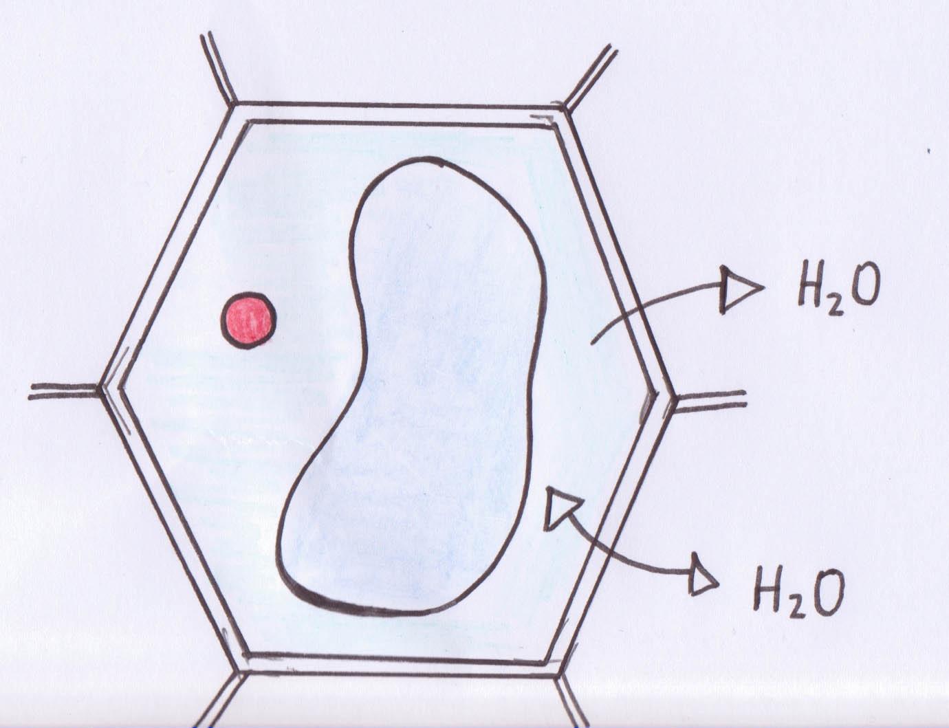 Lösungen bei Zellen: Hypotonisch, Hypertonisch und Isotonisch