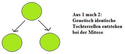 Zellzyklus