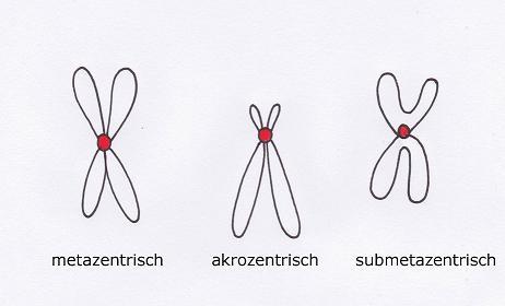 Chromosomen, Gene und DNS